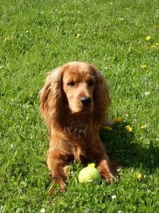 Golden Springer Spainiel with tennis ball on grass