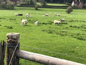 Hambledon valley green fields with sheep and lambs in